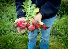 Fresh picked organic radishes Royalty Free Stock Images