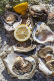 Fresh picked oysters and organic lemon and mediterranean herbs. Romantic epicure orgy on the sea coast Fresh picked oysters and organic lemon and mediterranean Stock Photography