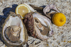 Fresh picked oysters and organic lemon and mediterranean herbs. Romantic epicure orgy on the sea coast Fresh picked oysters and organic lemon and mediterranean Royalty Free Stock Photo