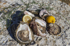 Fresh picked oysters and organic lemon and mediterranean herbs. Romantic epicure orgy on the sea coast Fresh picked oysters and organic lemon and mediterranean Royalty Free Stock Photography