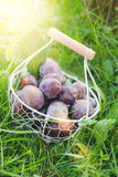 Fresh picked plums in basket Royalty Free Stock Photo