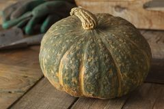 Fresh picked pumpkin Courge Delica Moretti. Fresh picked whole,pumpkin Courge Delica Moretti Stock Photo