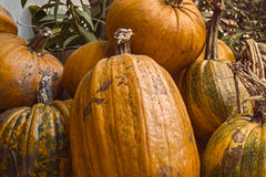 Fresh picked pumpkins. Bunch of fresh picked pumpkins Royalty Free Stock Image