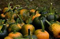 Fresh picked pumpkins in NH Royalty Free Stock Photography