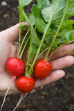 Fresh-Picked Radishes Royalty Free Stock Photography