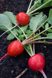 Fresh-Picked Radishes Stock Image