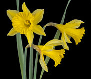 Wild daffodils, narcissus over black Royalty Free Stock Photos