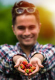 Fresh picked real life strawberries Royalty Free Stock Image