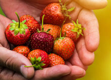 Fresh picked real life strawberries Royalty Free Stock Photo