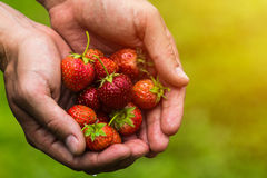 Fresh picked real life strawberries Royalty Free Stock Images