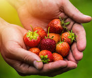 Fresh picked real life strawberries Royalty Free Stock Photos