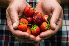 Fresh picked real life strawberries Stock Images
