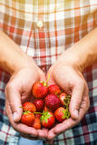 Fresh picked real life strawberries Stock Image