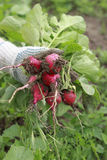 Fresh picked red radish bunch. Freshly picked red radishes from the garden with leafs Royalty Free Stock Image