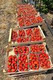 Fresh picked red strawberries in a wooden boxes Royalty Free Stock Image