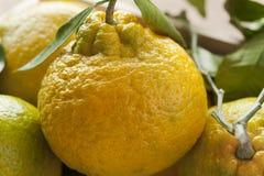 Fresh picked ripe mandarins Stock Image