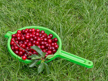 Fresh picked sour cherries, Prunus cerasus. Stock Photo