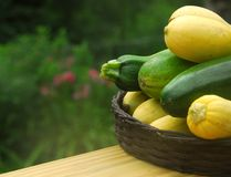 Fresh Picked Squash. Pile of garden fresh zucchini and squash stacked in wicker basket Stock Image