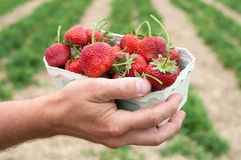 Fresh picked strawberries Stock Photography