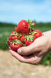 Fresh picked strawberries Royalty Free Stock Images