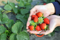 Fresh picked strawberries Royalty Free Stock Image