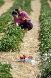 Fresh picked strawberries Royalty Free Stock Photos