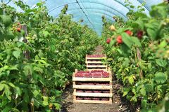 Fresh picked strawberries in the basket inside greenhouse Stock Photos