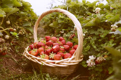 Fresh picked strawberries in a basket on the strawberry plantati. On, sunny day Royalty Free Stock Photo