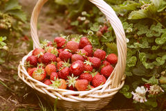 Fresh picked strawberries in a basket on the strawberry plantation. Sunny day Stock Photos