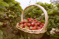 Fresh picked strawberries in a basket on the strawberry plantation. Sunny day Royalty Free Stock Photo