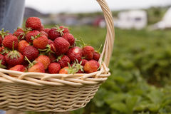 Fresh picked strawberries in a basket on the strawberry plantation. Sunny day Stock Photo