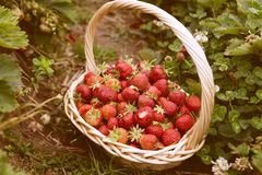 Fresh picked strawberries in a basket on the strawberry plantation Stock Photos