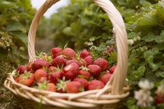 Fresh picked strawberries in a basket on the strawberry plantation Stock Image