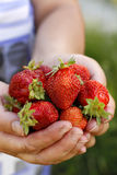 Fresh picked strawberries Royalty Free Stock Photos
