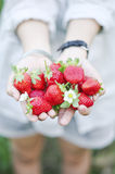 Fresh picked strawberries held over strawberry plants Stock Photo