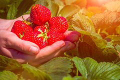 Fresh picked strawberries held over strawberry plants with sun flares Stock Image