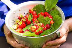 Fresh picked strawberry Royalty Free Stock Photography