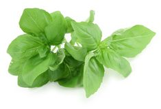 Fresh Picked Sweet Basil Stock Photography