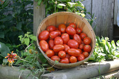 Fresh picked tomatoes stock photo