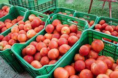 Fresh picked tomatoes from organic and domestic breeding ready for sale Stock Photo