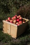 Fresh picked wooden pox of apples. Stock Photo