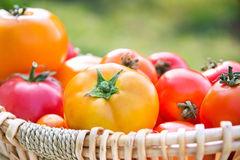 Fresh picked yellow  and red organic tomatoes Royalty Free Stock Photos