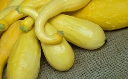 Fresh Picked Yellow Squash Stock Image