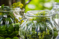 Fresh pickling cucumbers in the countryside Stock Images