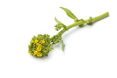 Fresh piece of broccolini Royalty Free Stock Photo