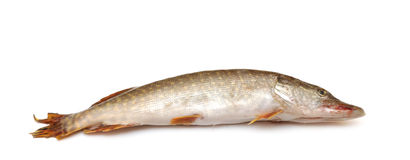 Fresh pike fish Royalty Free Stock Image