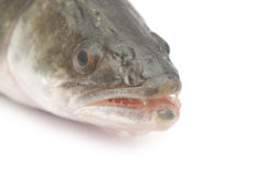 Fresh pike perch. Isolated on a white background Royalty Free Stock Images
