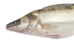 Fresh pike perch. Isolated on a white background Royalty Free Stock Photos