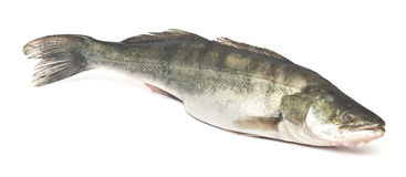 Fresh pike perch. On a white background royalty free stock image