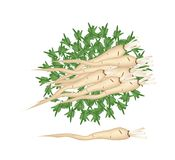 Fresh Pile of Parsley Root on White Background Stock Images